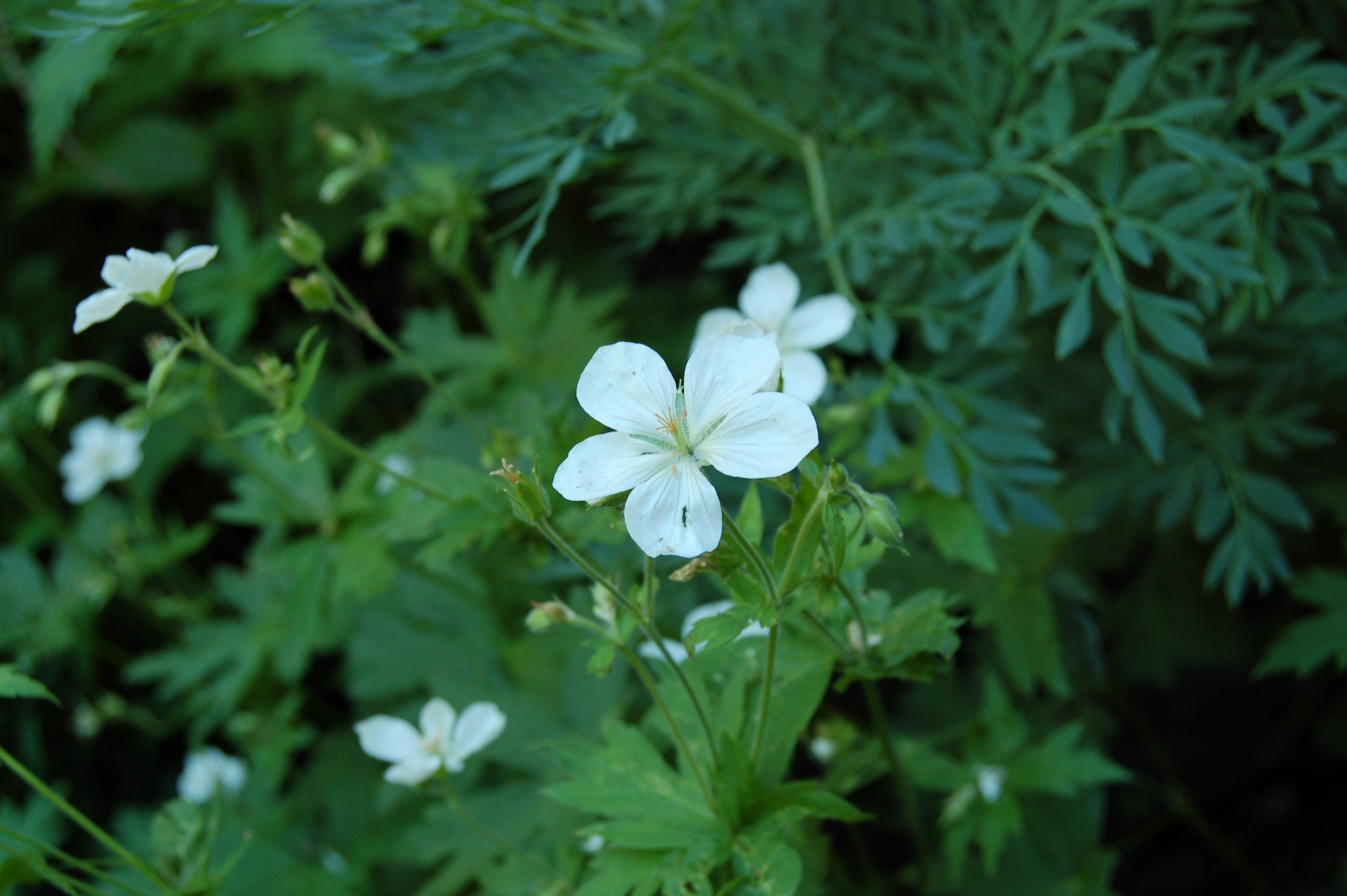 Image of Richardson's geranium