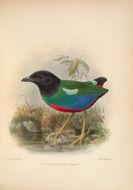 Image of <i>Pitta sordida rosenbergii</i> Schlegel 1871