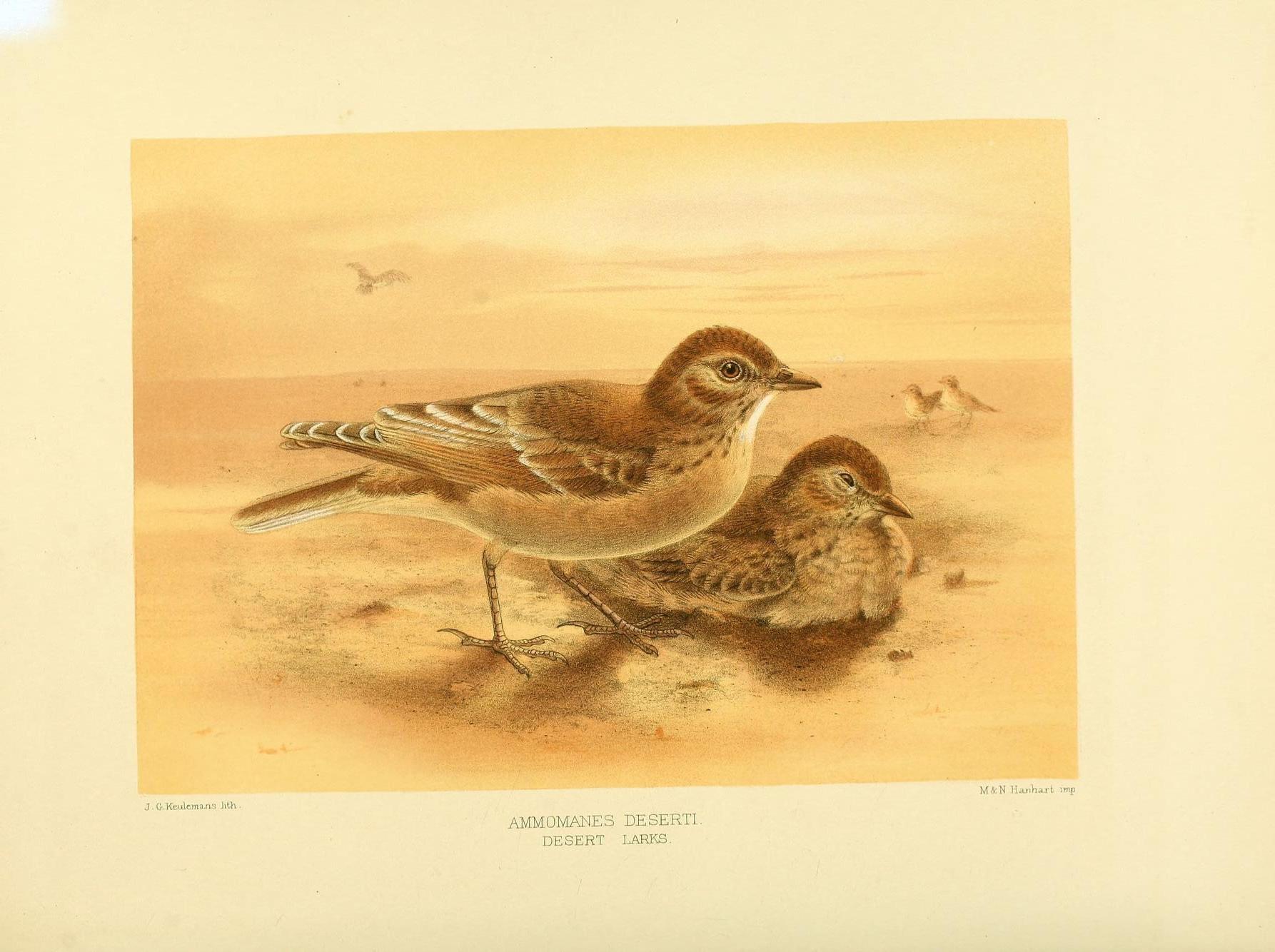 Image of Desert Lark