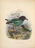 Image of <i>Pitta sordida sanghirana</i> Schlegel 1866