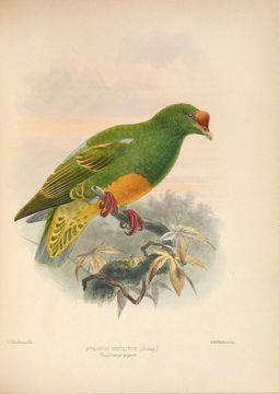 Image of Knob-billed Fruit Dove