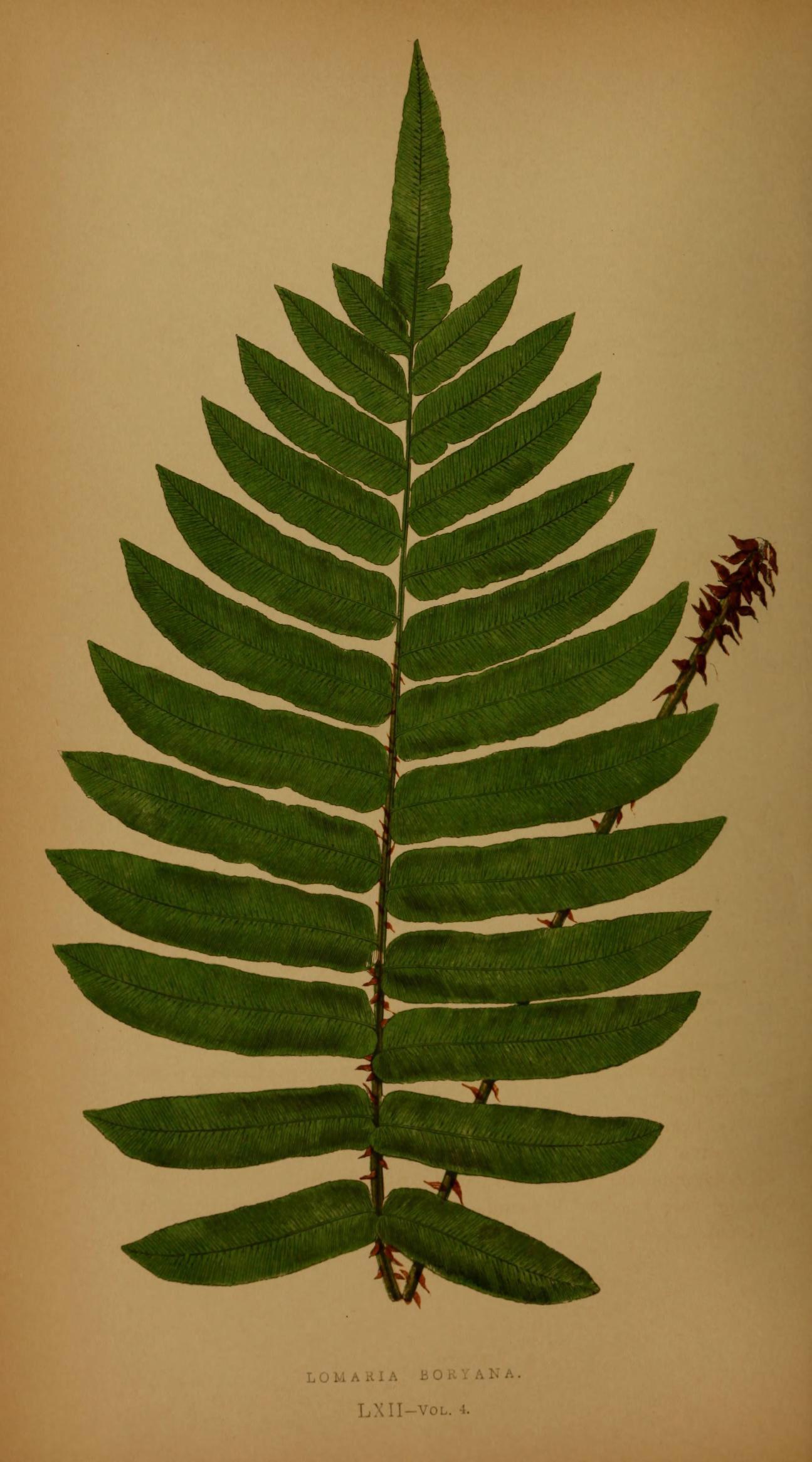 Image of <i>Blechnum tabulare</i> (Thunb.) Kuhn