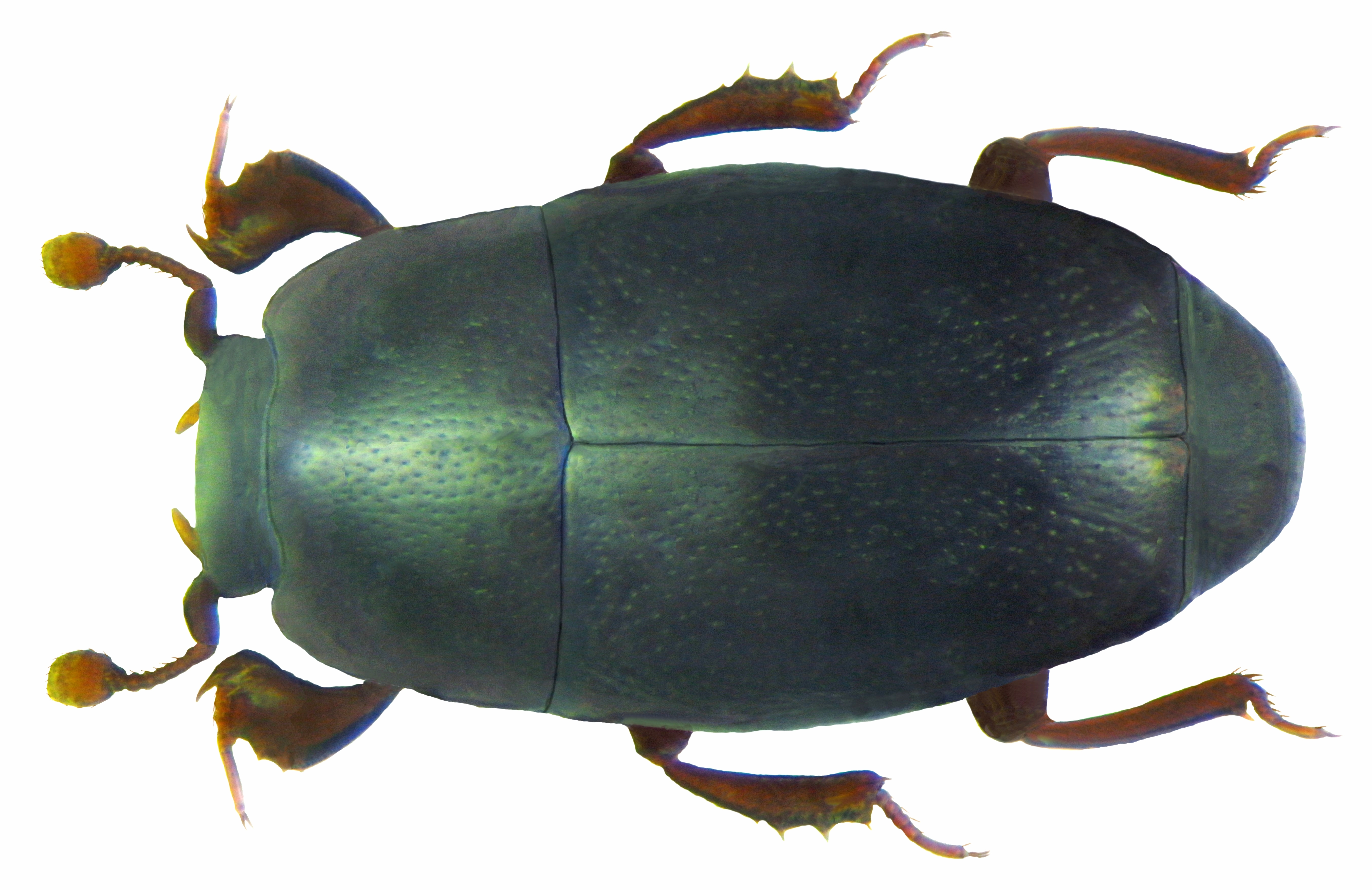 Image of <i><i>Paromalus</i></i> (Paromalus) <i>flavicornis</i> (Herbst 1791)