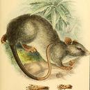 Image of Meyer's Lenomys