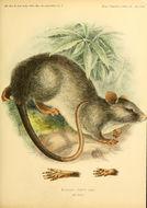 صورة <i>Lenomys meyeri</i> (Jentink 1879)
