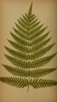 Image of <i>Woodwardia radicans</i> (L.) Sm.