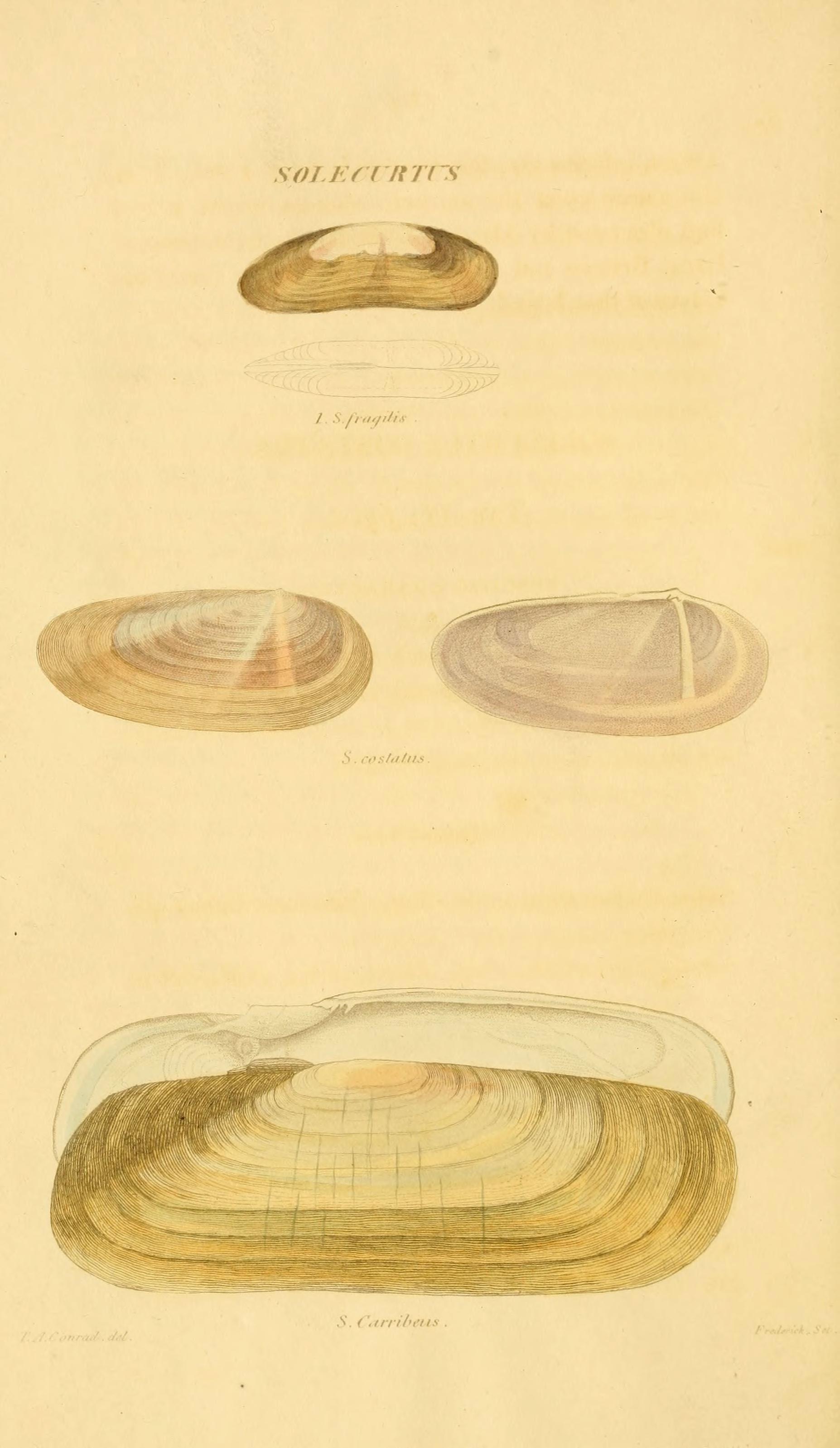Image of <i>Tagelus plebeius</i> (Lightfoot 1786)