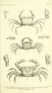 Image of <i>Macrophthalmus punctulatus</i>