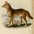 Image of Arabian Wolf