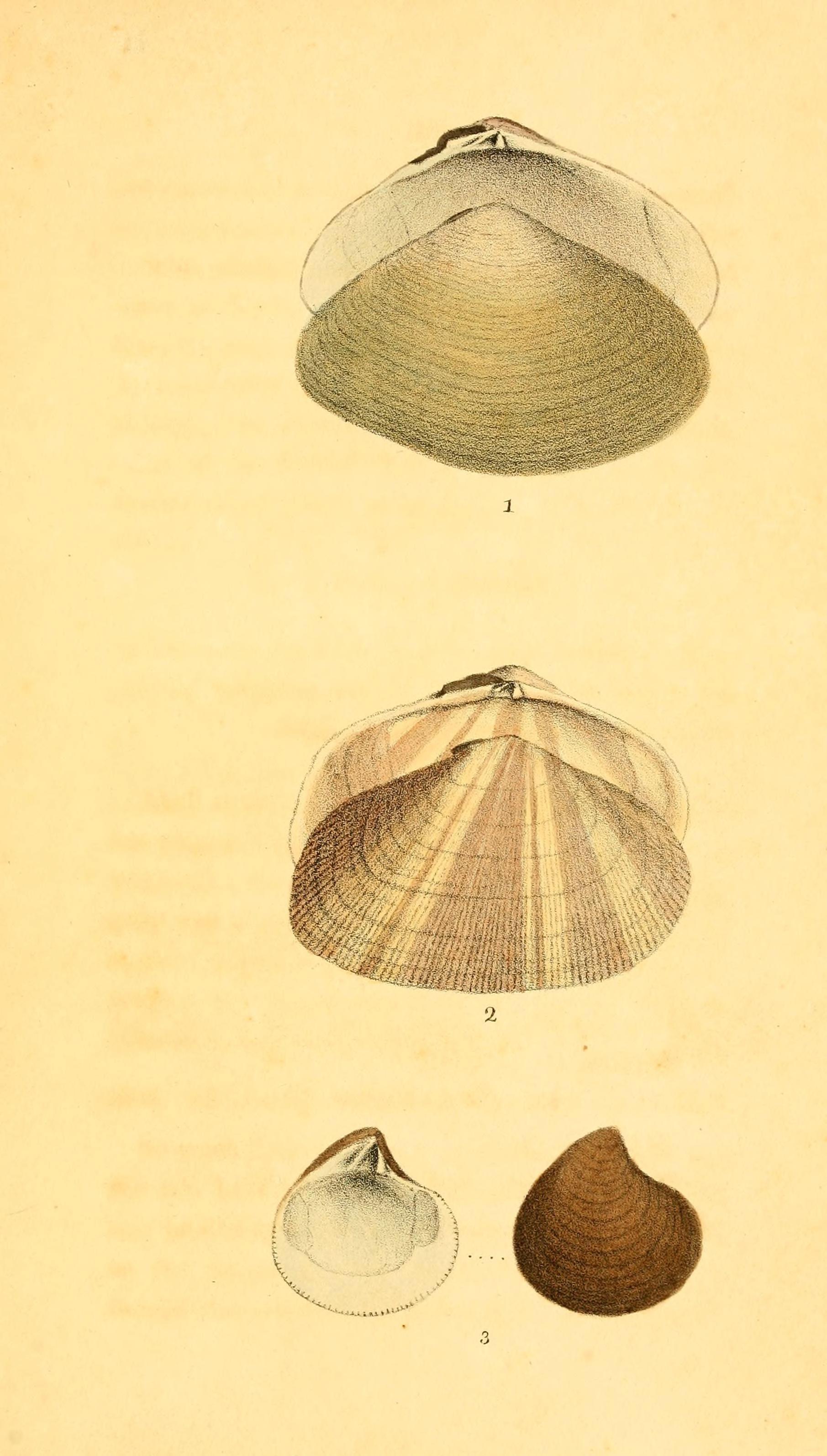 Image of <i>Astarte castanea</i> (Say 1822)