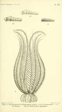 Image of <i>Actinometra solaris</i>