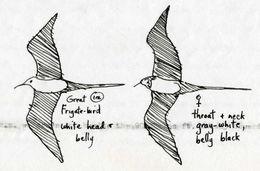 Image of Great Frigatebird