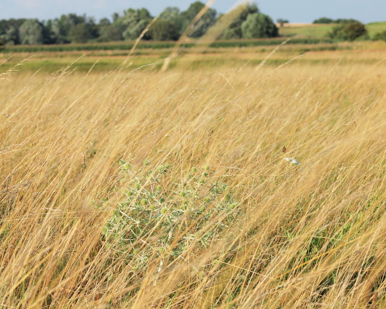 Image of field eryngo