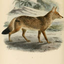 Image of <i>Canis anthus</i> F. Cuvier 1820