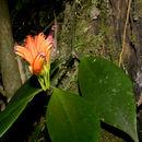 Image of <i>Aeschynanthus lineatus</i> Craib