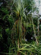 Image of <i>Pandanus helicopus</i> Kurz ex Miq.