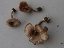 Image of <i>Entoloma undatum</i> (Gillet) M. M. Moser 1978