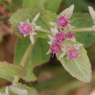 Image of Rosy Camphorweed
