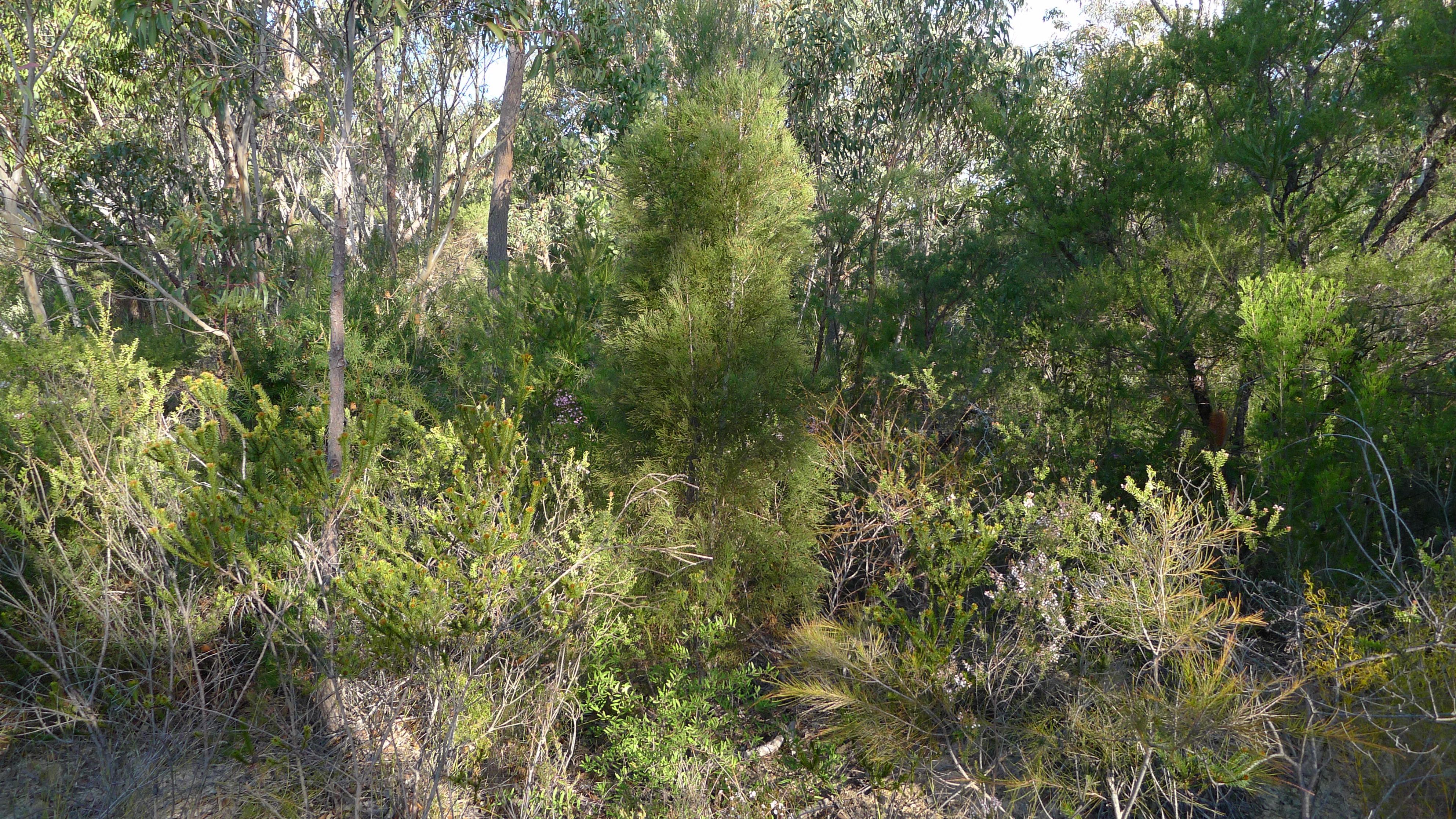 Image of Illawarra Cypress-pine