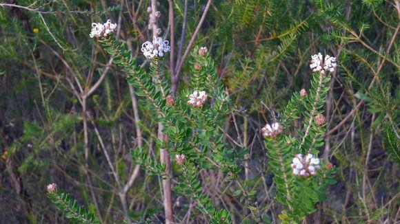 Image of Grey Spider Flower