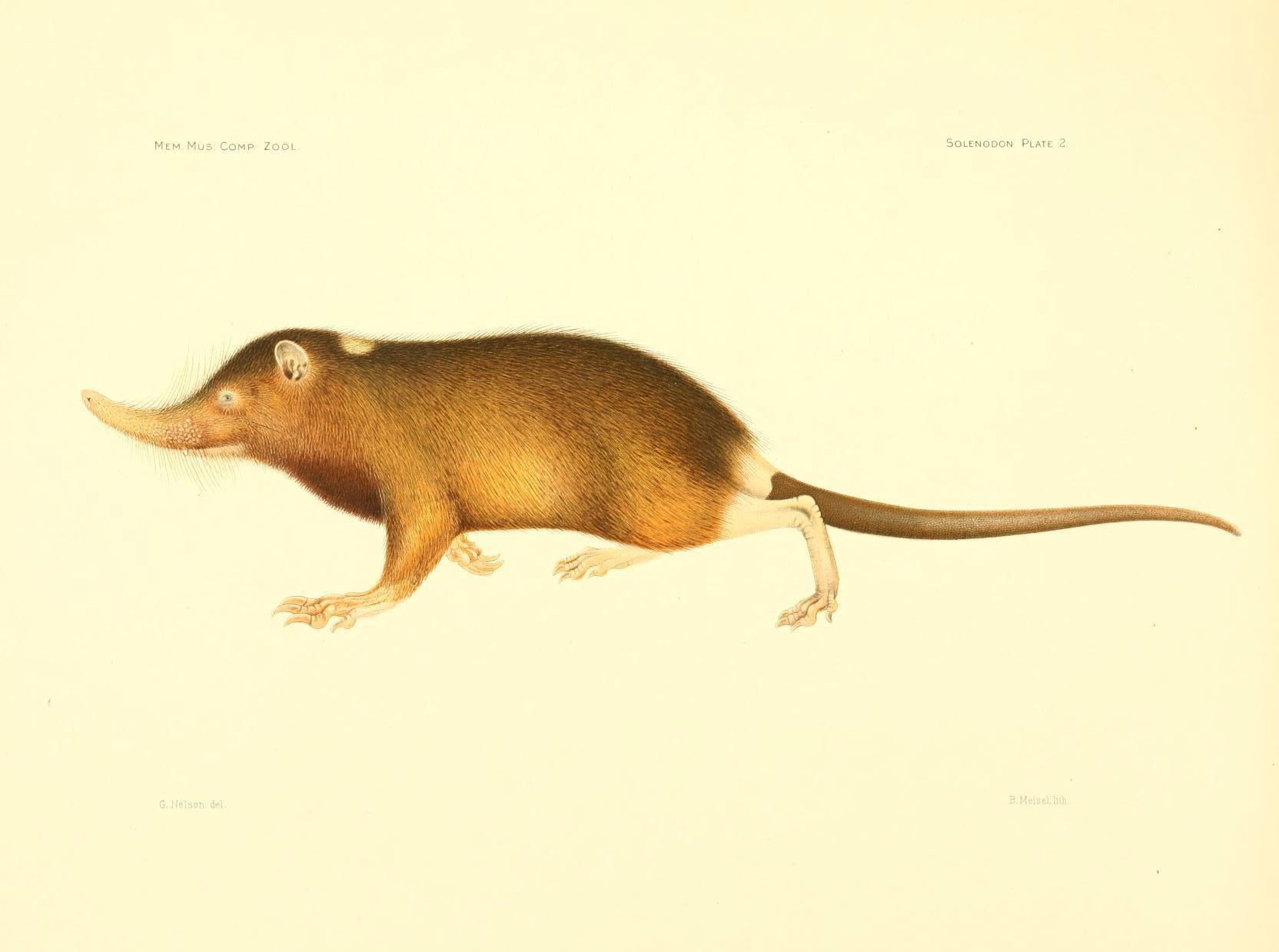 Image of Haitian Solenodon