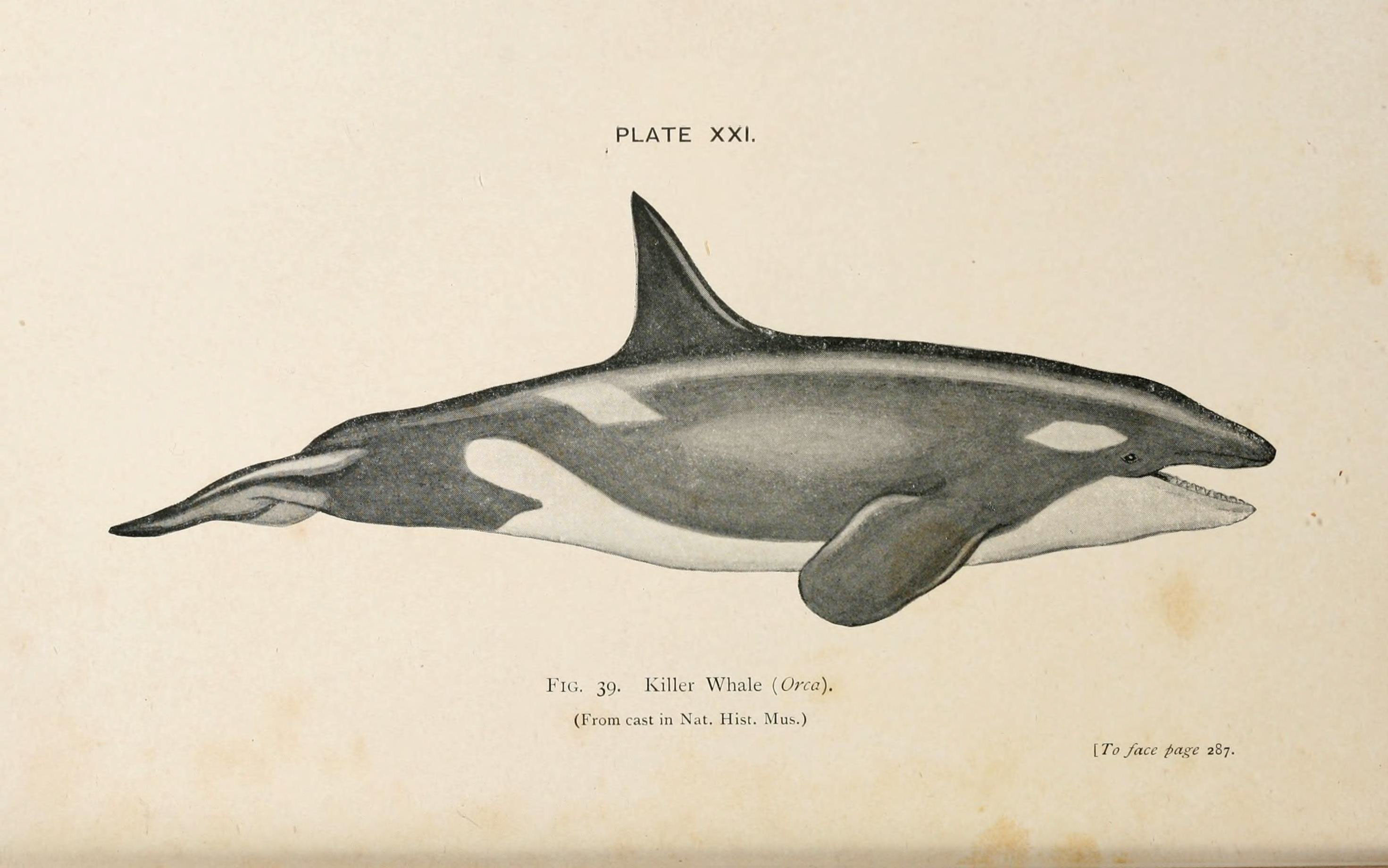 Image of Orca