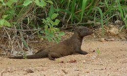 Image of Dwarf Mongoose
