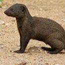 Image of Dwarf Mongoose