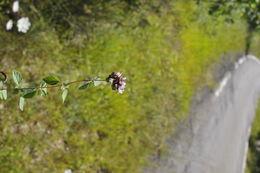 Image of <i>Origanum <i>vulgare</i></i> ssp. vulgare
