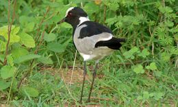 Image of Blacksmith Plover