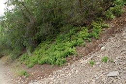 Image of <i>Apocynum androsaemifolium</i> ssp. <i>pumilum</i> (A. Gray) B. Boivin