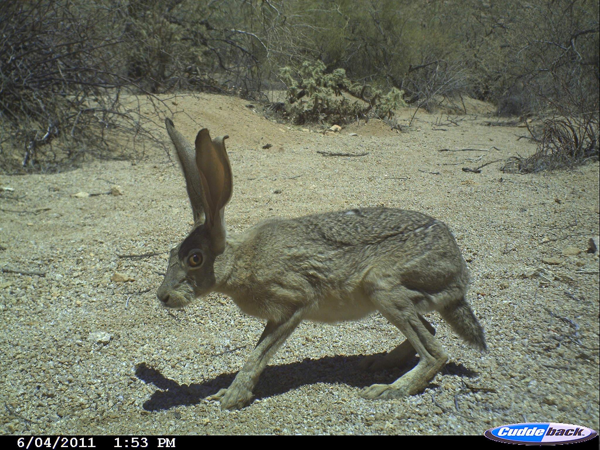 Image of Antelope Jackrabbit