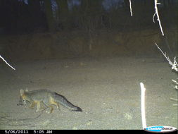Image of gray fox