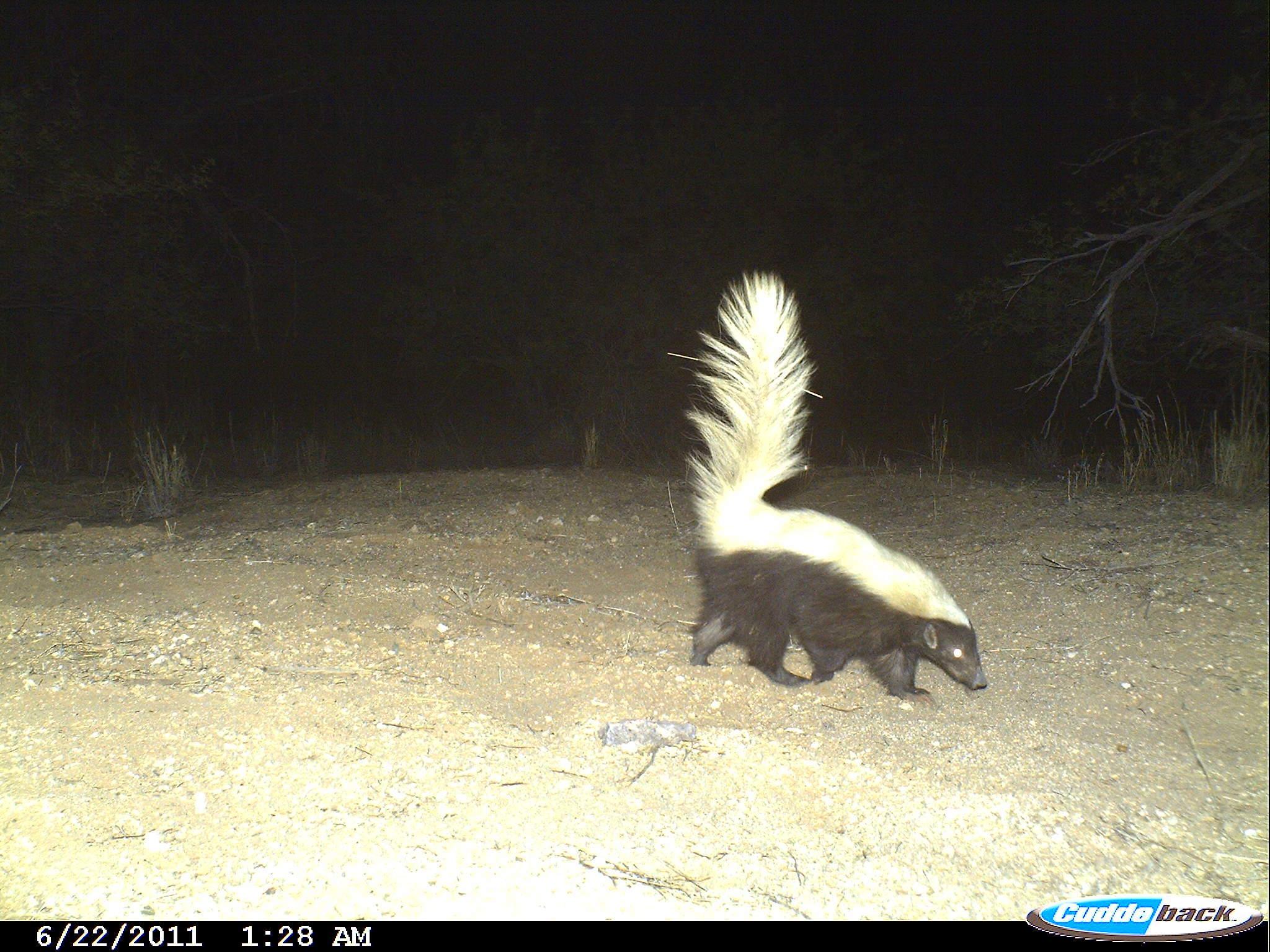 Image of American Hog-nosed Skunk