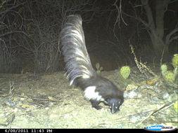 Image of Hooded Skunk