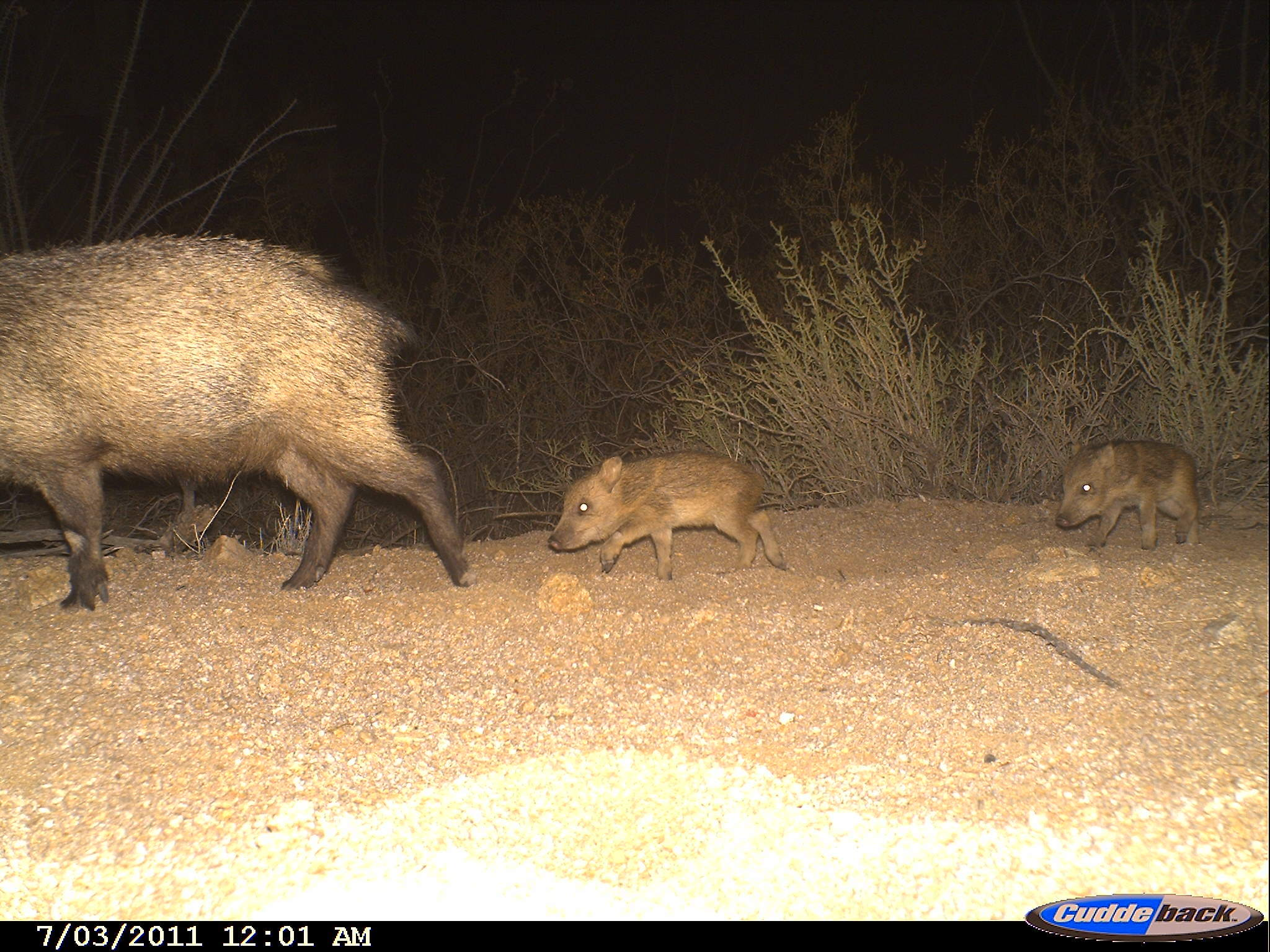 Image of collared peccary