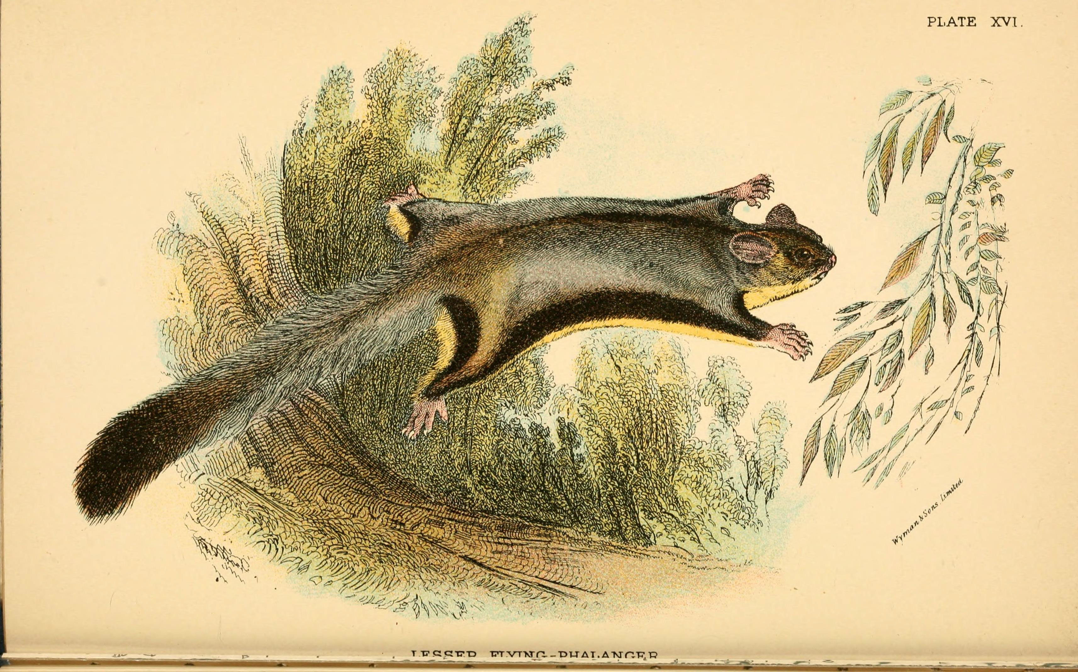 Image of <i>Petaurus breviceps</i> Waterhouse 1838