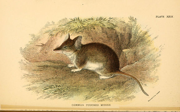 Image of Common Dunnart