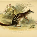 Image of Numbats