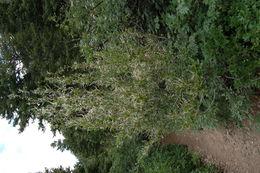 Image of <i>Cercocarpus <i>montanus</i></i> montanus