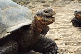 Image of Charles Island Giant Tortoise