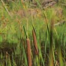 Image of Lesser Bulrush