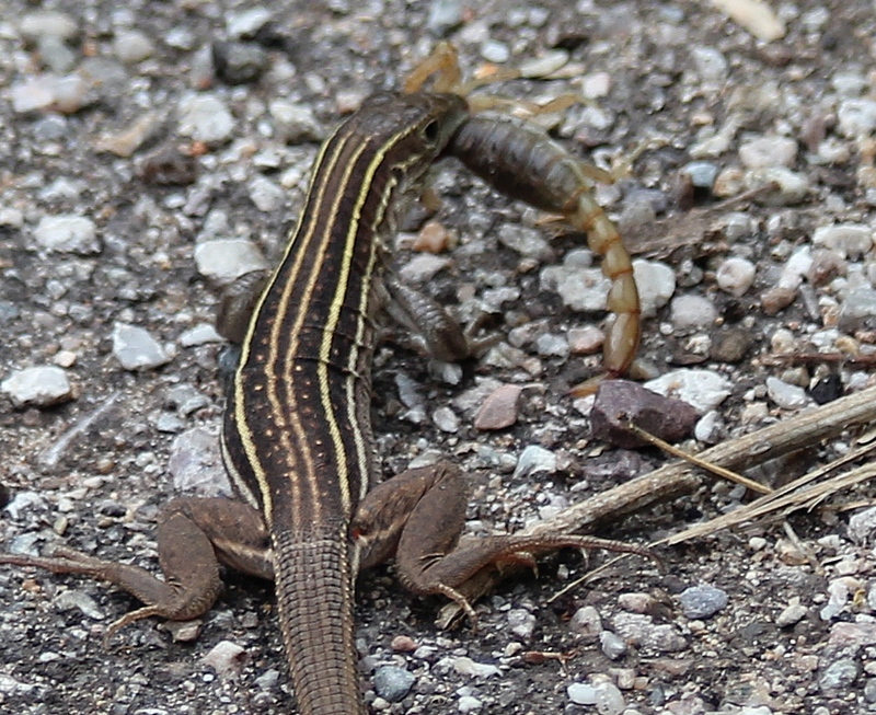 Image of sonoran spotted whiptail
