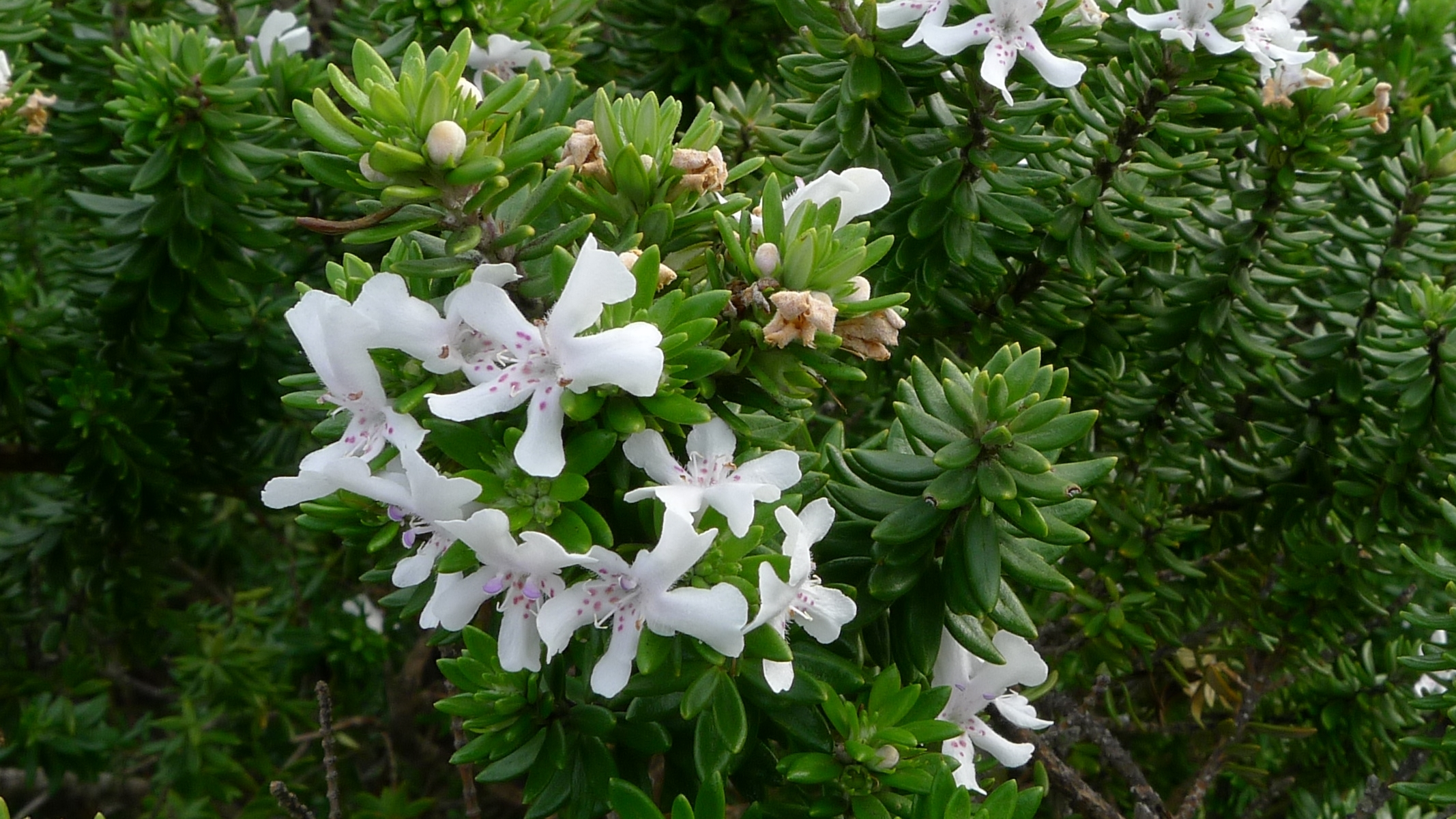 Image of <i>Westringia fruticosa</i> (Willd.) Druce