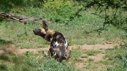 Image of African Hunting Dog