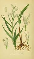 Image of Sword-leaved helleborine