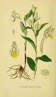 Image of <i>Cephalanthera grandiflora</i>
