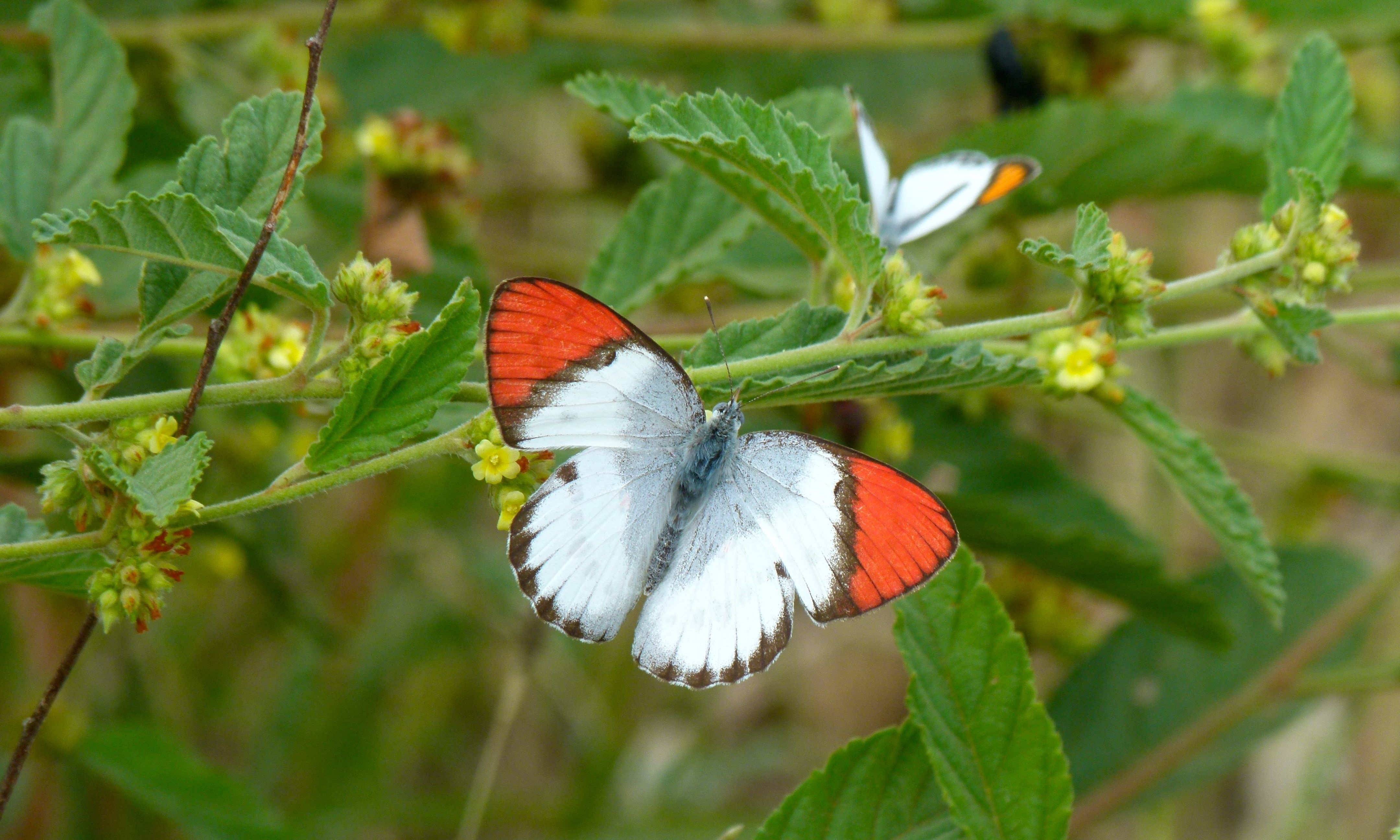 Image of Scarlet Tip