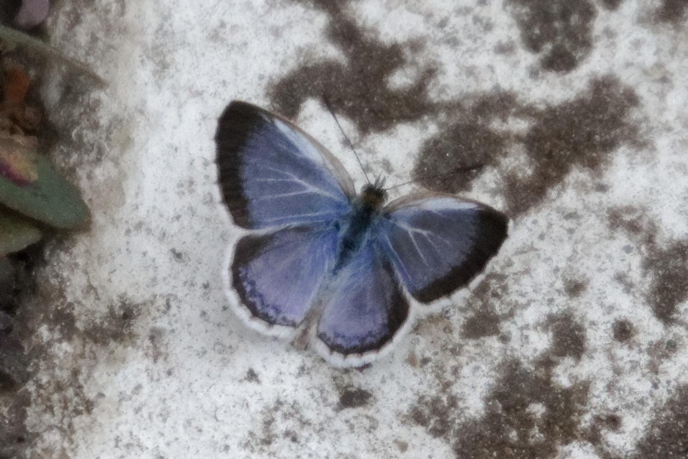 Image of <i>Zizeeria serica</i>