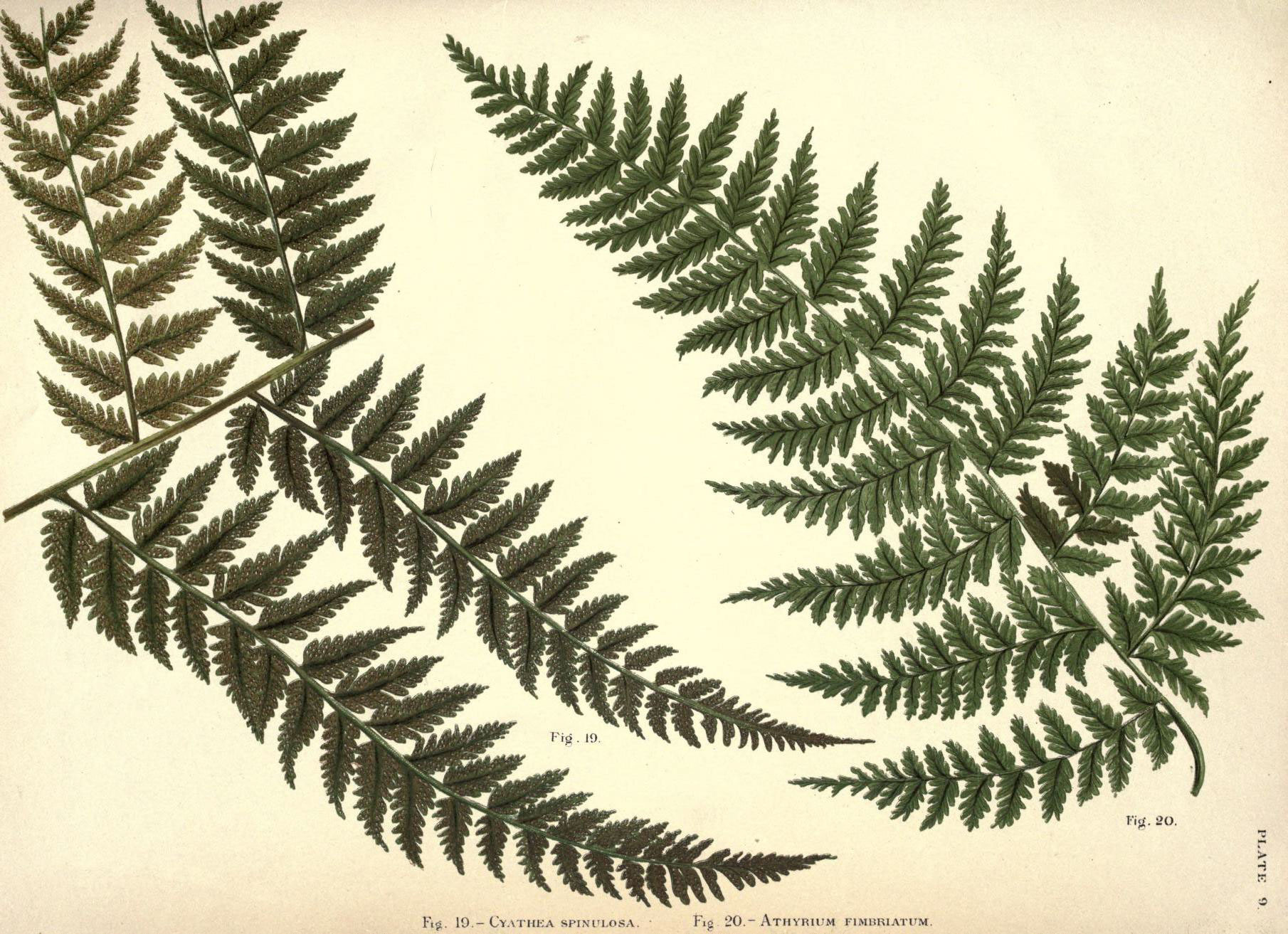 Image of <i>Cyathea spinulosa</i> Wall. ex Hook.